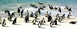 Penguins, Hout bay
